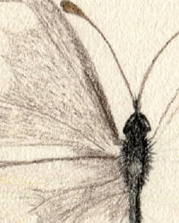 Cabbage Butterfly Study