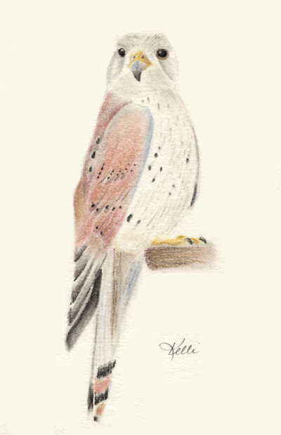 Kestrel - pastel pencil on Stillman & Birn Gamma paper