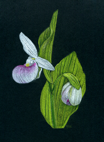 Showy Lady-slipper Orchid
