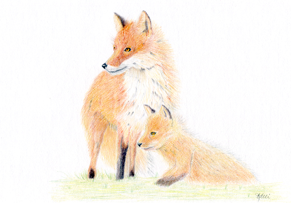 Red Foxes: Mother and Pup