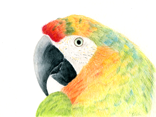 Macaw Watercolor Pencil Painting
