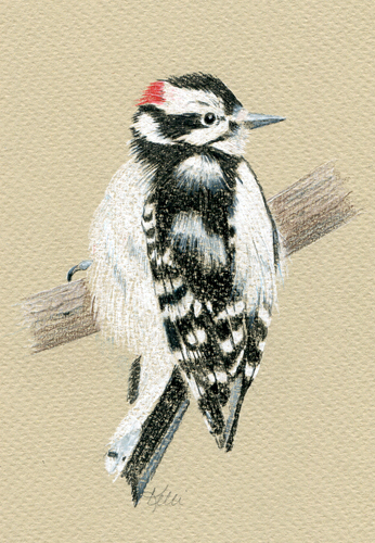 Downy Woodpecker - colored pencil on pastel paper