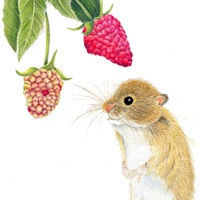 Harvest Mouse with Berries